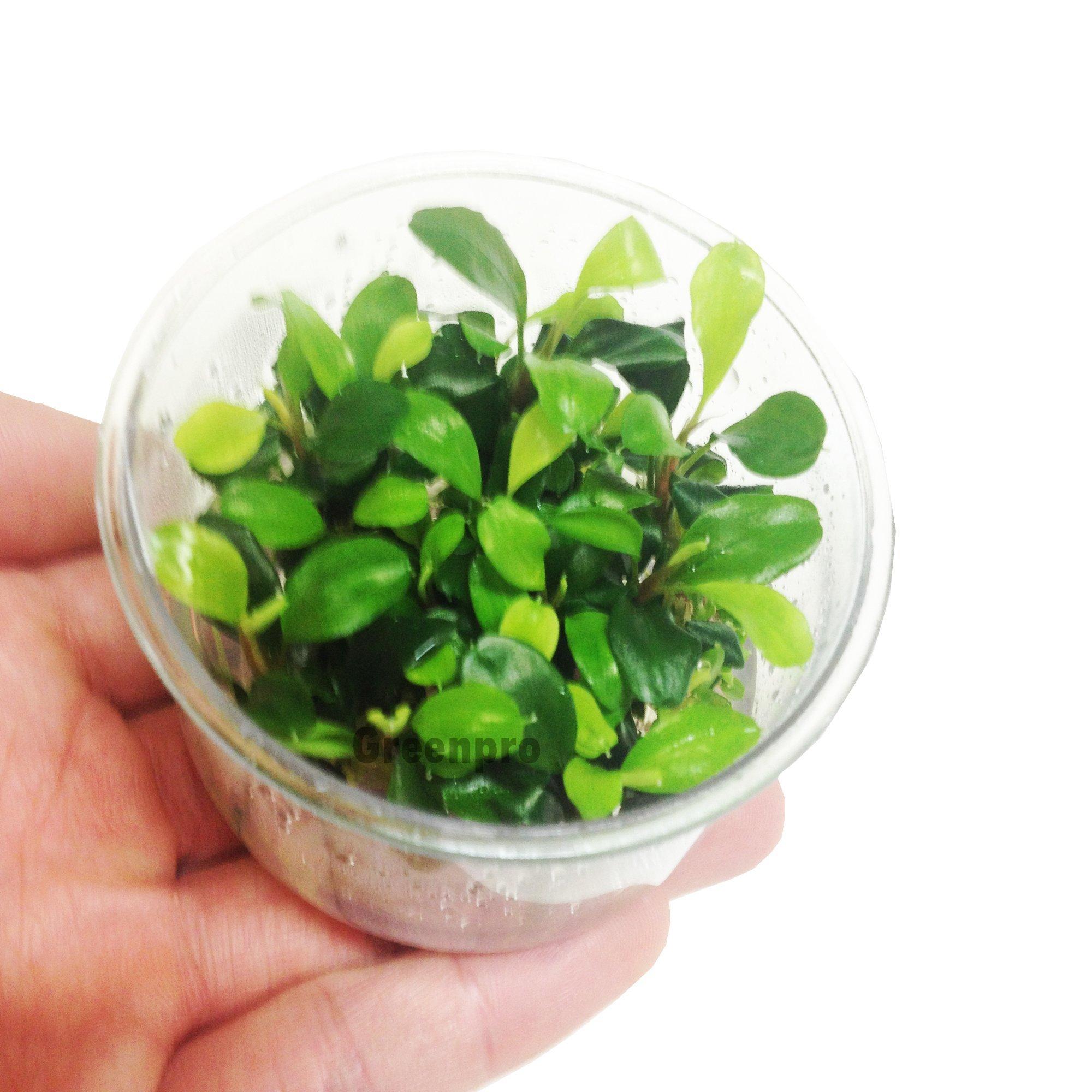 Bucephalandra Green Wavy Leaf Freshwater Live Aquarium Plant for Fish Tank by Greenpro