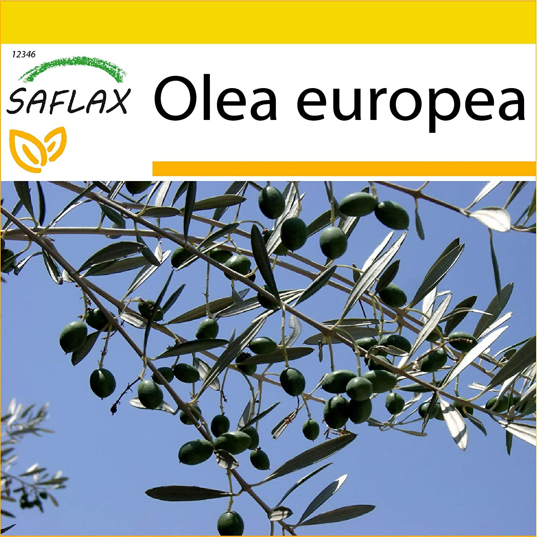 SAFLAX - Set de cultivo - Olivo - 20 semillas - Con mini-invernadero, sustrato de cultivo y 2 maceteros - Olea europea