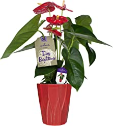 Hallmark Flowers Happy Hearts Anthurium in 5-Inch Red Ceramic Container