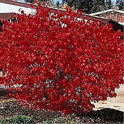 Burning Bush Shrub- 50 Seeds : Garden & Outdoor