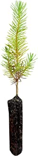 product image for Aleppo Pine | Small Tree Seedling | The Jonsteen Company