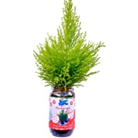 Blue Farmers   Sapin de Noël   FABRIQUE EN FRANCE   Sapin à faire pousser soi-même   Cadeau original   Cadeau parfait pour les enfants   Pousse garantie