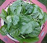 Green Malabar Spinach-100 Seeds [Guyana Thick