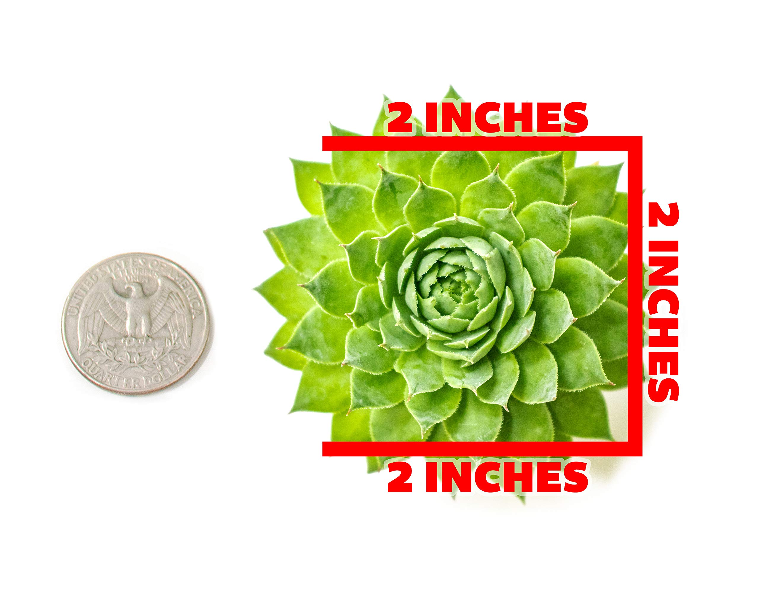 Succulent Plants | 20 Sempervivum Succulents | Rooted in Planter Pots with Soil | Real Live Indoor Plants | Gifts or Room Decor by Plants for Pets by Plants for Pets (Image #2)