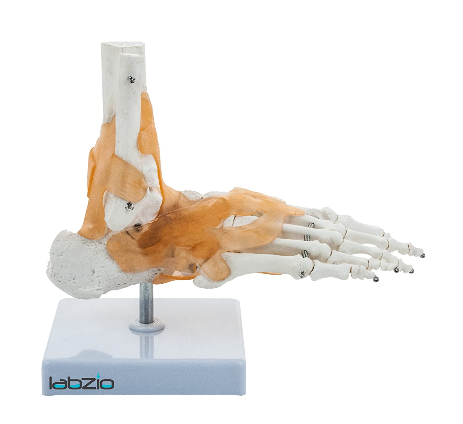 Labzio By Eisco Ankle Skeletal Model With Flexible Ligaments For