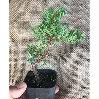 """Plant Live Rooted-Japanese Dwarf Juniper - Pre Bonsai Tree - Fully Rooted in 2"""" Pot : Garden & Outdoor"""