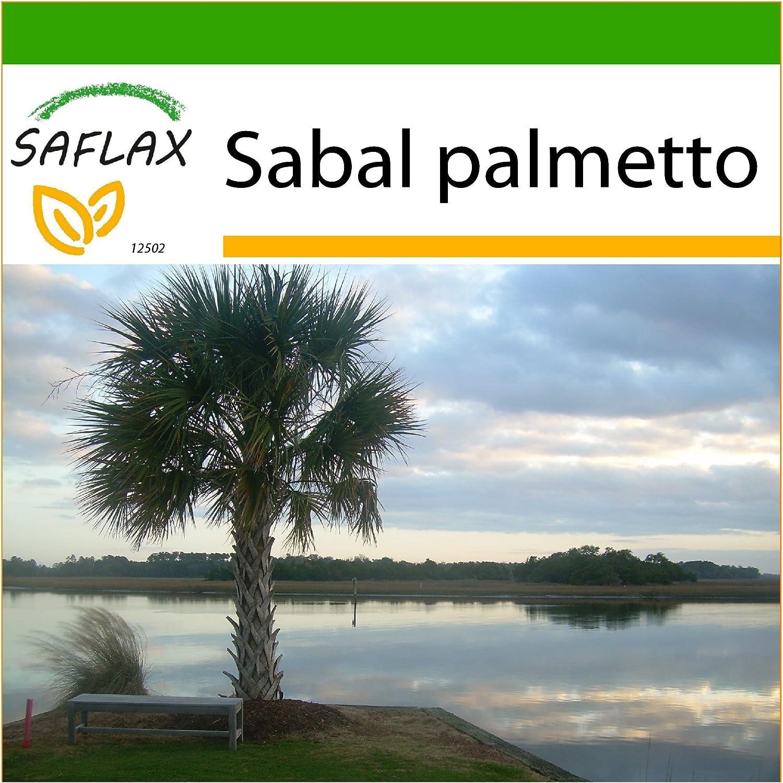 SAFLAX - Palmito - 8 semillas - Con sustrato - Sabal ...