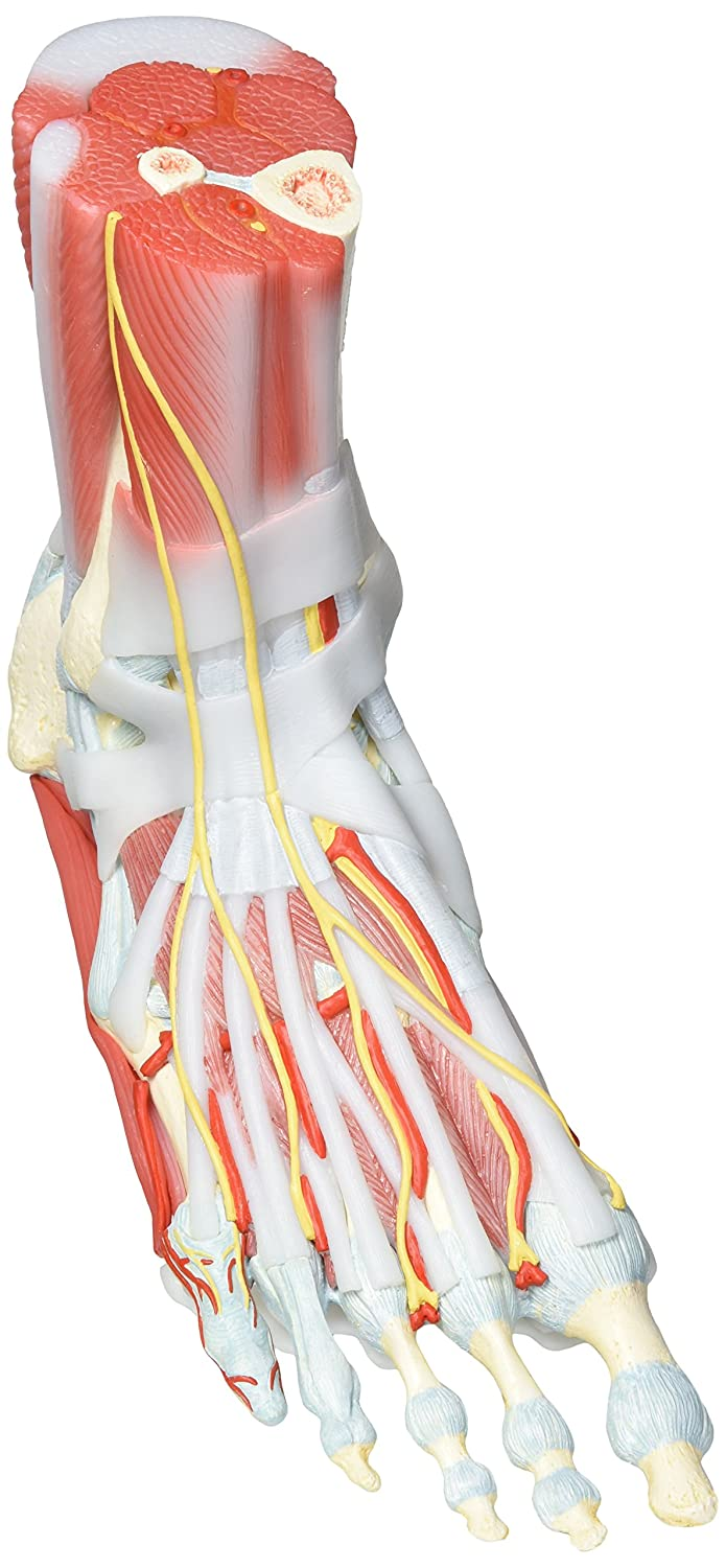 3b Scientific Foot Skeleton Model With Ligaments And Muscles 6 Part