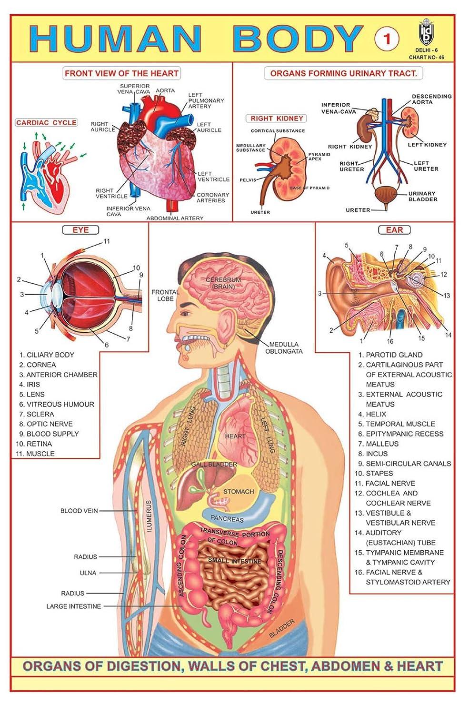 Ibd Human Body Part I Educational Children Learning Gumming