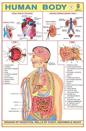 IBD Menschliches Körperteil - I Educational Children Learning ...