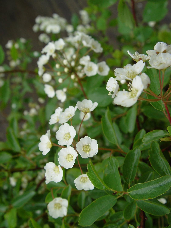 Amazon Renaissance Spirea White Flowering Plant In 3 Gallon