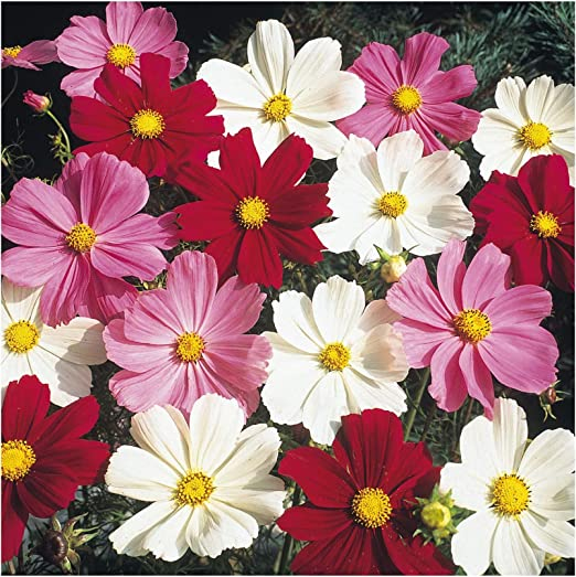 Premier Seeds Direct Cosmos Dwarf Mix 450 Flower Seeds Cosmos Bipinnatus Amazon Co Uk Garden Outdoors