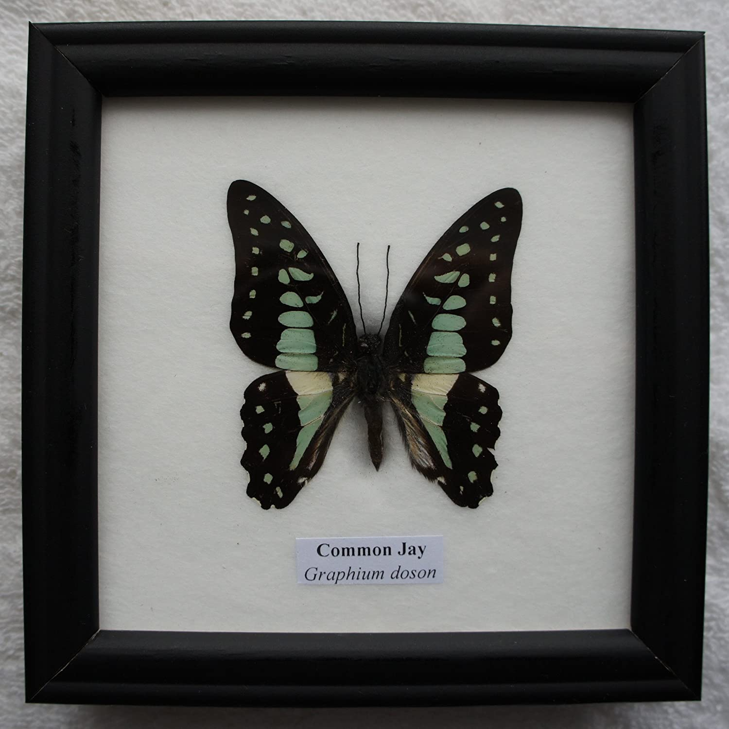 Common Jay (Graphium doson) BUTTERFLY PICTURE FRAME - REAL GENUINE ...