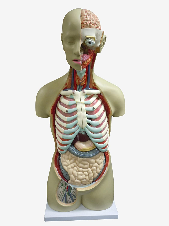 【格安SALEスタート】 人体模型 B00DURHU8K 内臓模型 等身大 等身大 内臓模型 アルティメット B00DURHU8K, 作業用品.安全保安用品 役立ーツ:3f537500 --- a0267596.xsph.ru