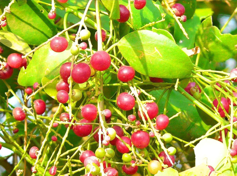 ROOKHRAJ PAUDHSHALA Peelu Live Plant, Salvadora persica: Amazon.in: Garden  & Outdoors