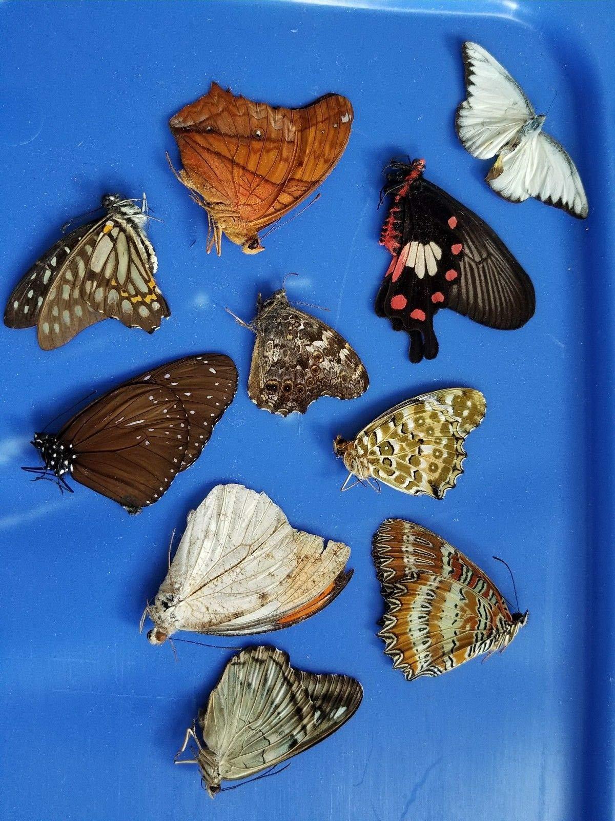 Real Butterfly Moths Wing Taxidermy Entomology Art Craft