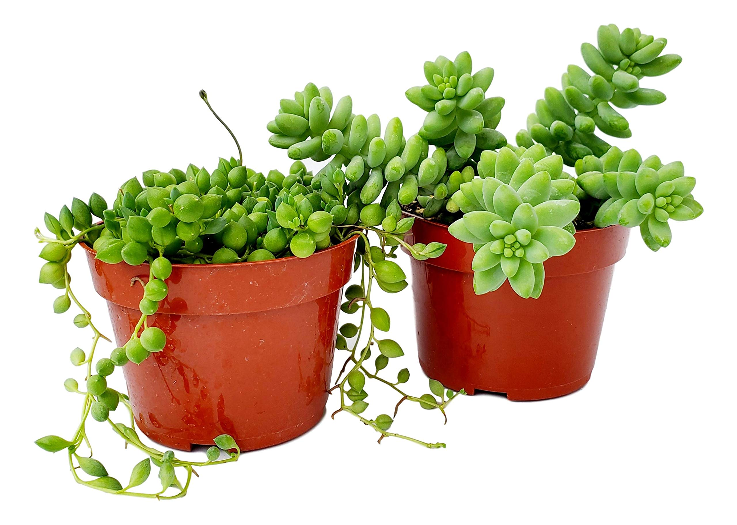 Fat Plants San Diego Succulent Plant(s) Fully Rooted in 4 inch Planter Pots with Soil - Real Live Potted Succulents/Unique Indoor Cactus Decor (2, String of Pearls and Sedum Burrito Combo) by Fat Plants San Diego