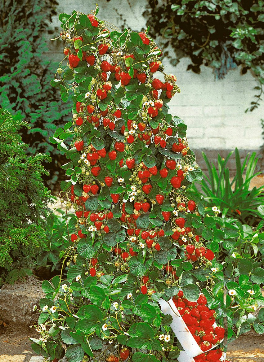 Amazon 200 Count Lot Of Climbing Red Strawberry Fruit Seeds Comes With Free How To Live Stress Ebook Garden Outdoor