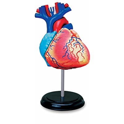 TEDCO Learn About Human Anatomy - Heart Anatomy Model (Age 8+): Toys & Games