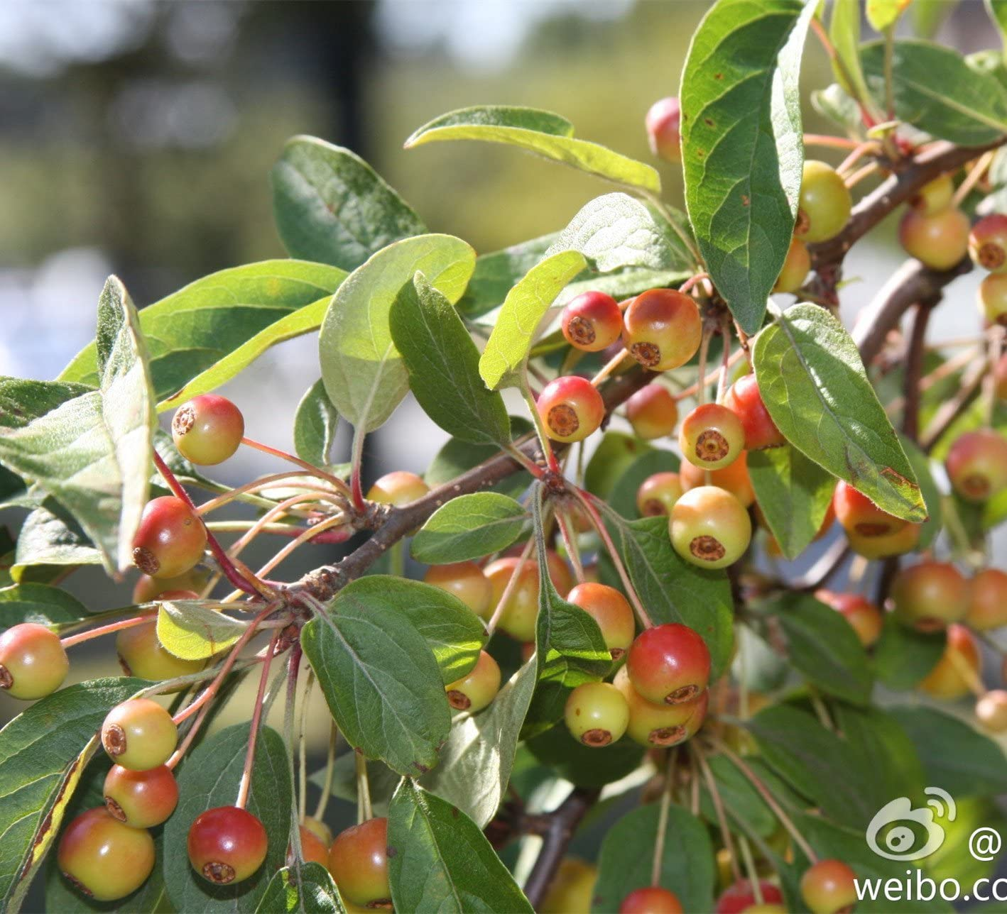 Amazon Com Siberian Crab Apple Malus Baccata Tree 30 Seeds By
