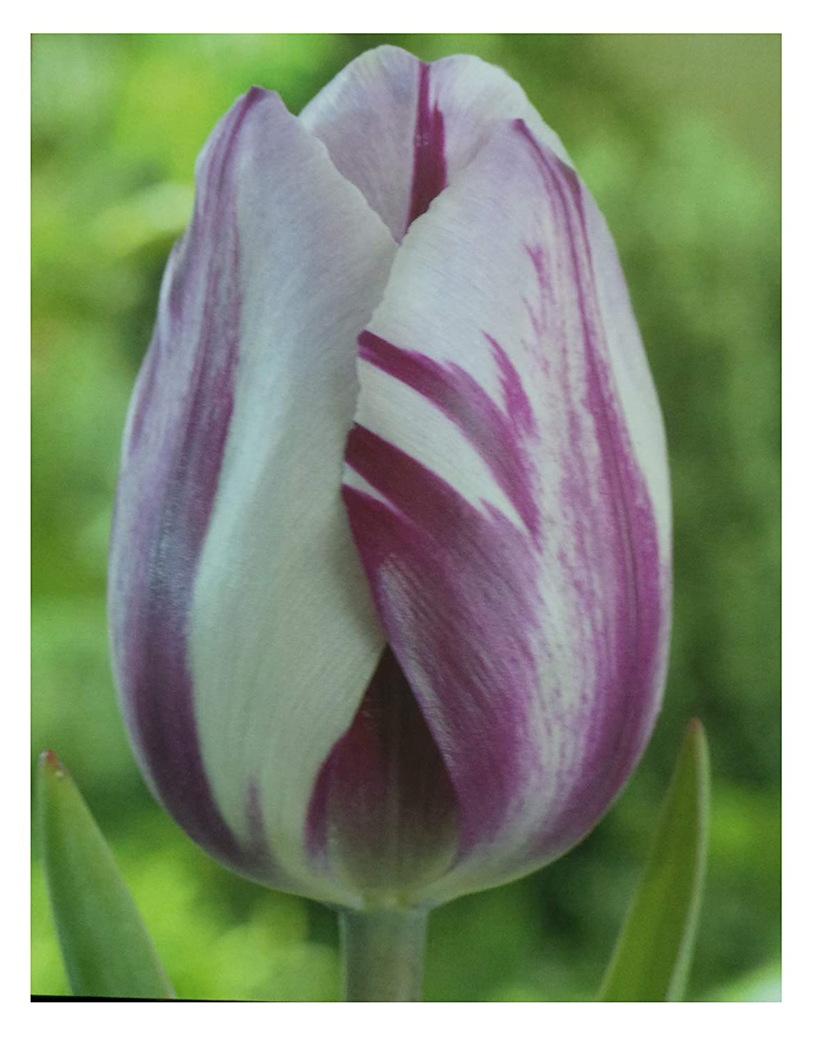Flaming Flag White/Purple Triumph Tulips (100) Bonnies Bulbs