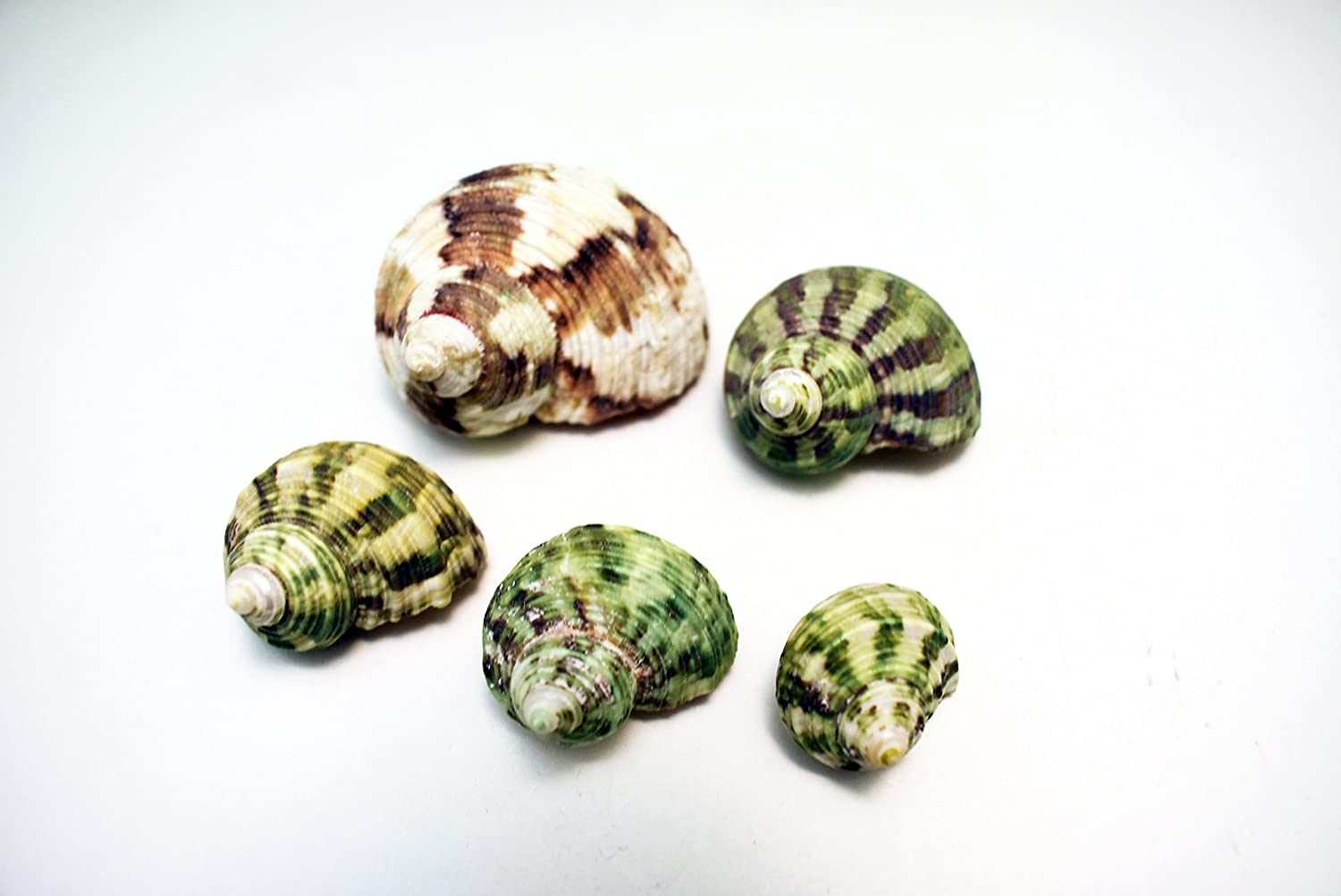 5 Shell Hermit Crab Changing Set - Small 1/2-3/4 opening - Select Turbo Shell Florida Shells and Gifts
