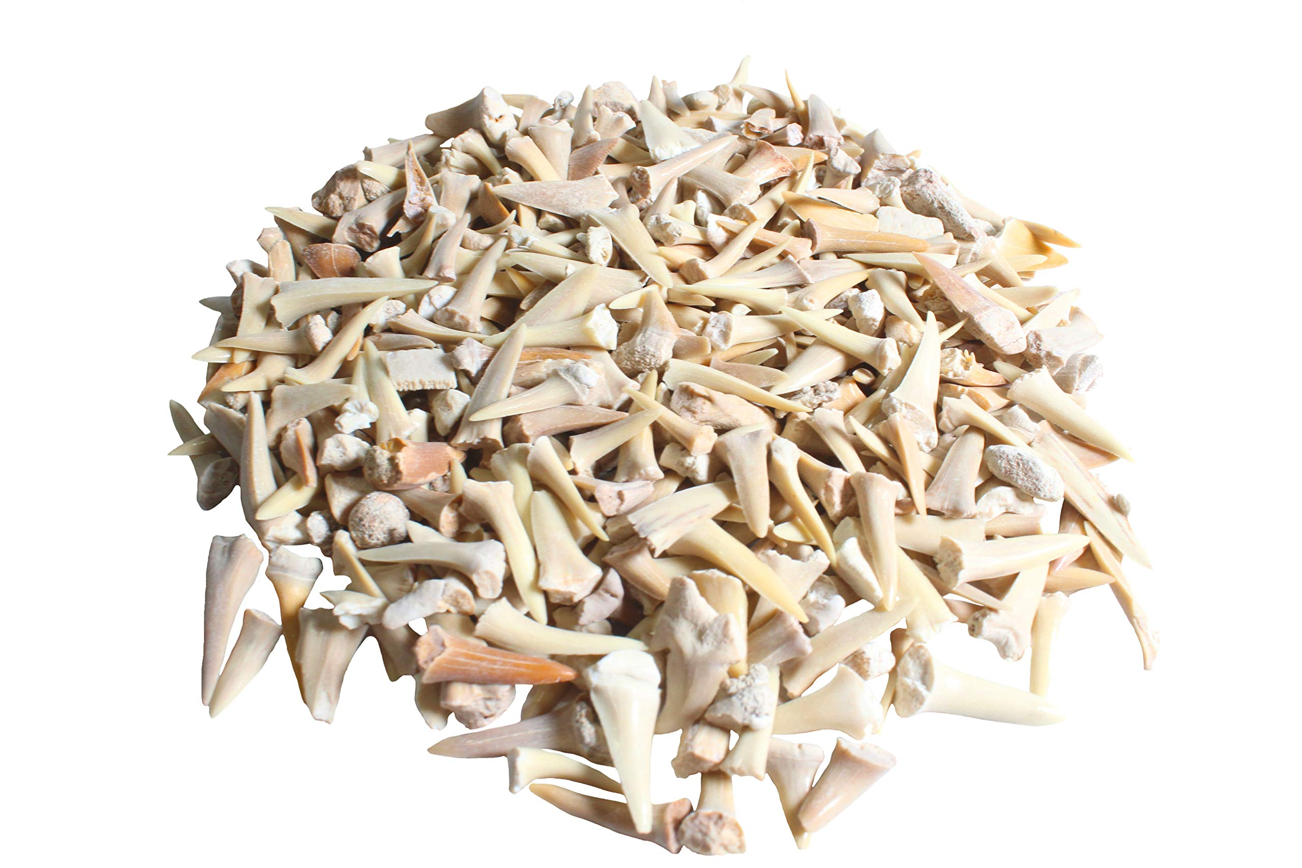 Real Authentic Shark Tooth Collection SHARK TEETH Fossils Grade A 50-60 Million Years old Paleocene Period FREE BONUS: Fossil Book /& ID Card B /& C Mix Genuine Moroccan Bulk Wholesale 1 Pound