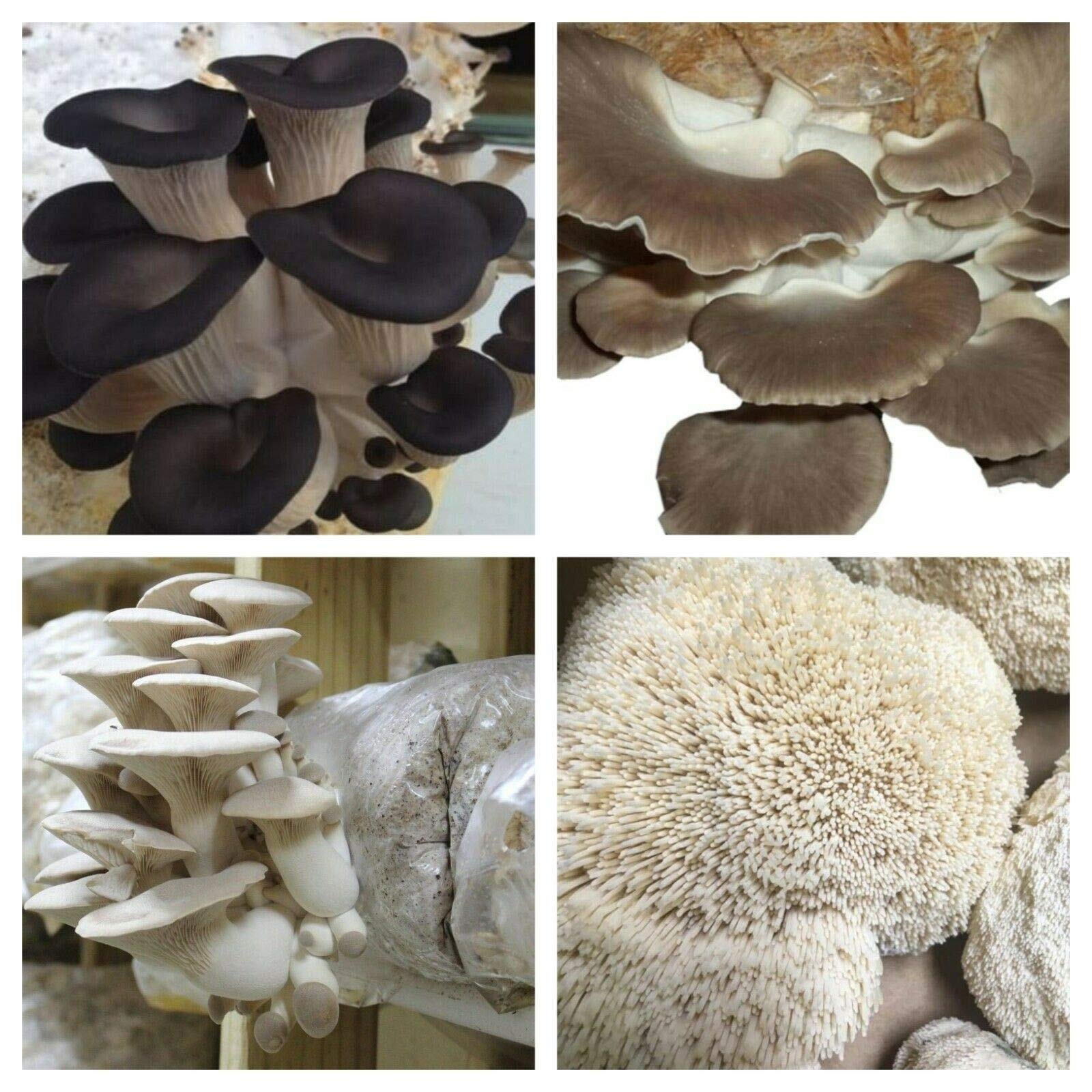 Super Pack- 4 Types of Mushroom Spawn; US Seller; Excellent Quality (1 LB of Each Mushrooms) Black Oyster, Grey Oyster, King Oyster, and Lion's Mane. by Naturegreen_Park
