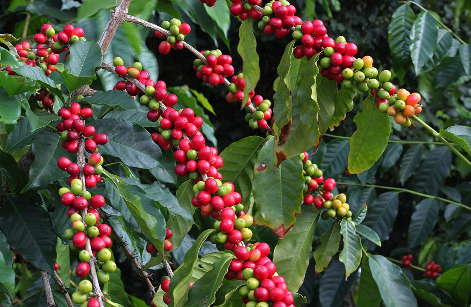 Amazon.com : Hawaiian Kona Coffee Plant Seeds 1 Pack W2 : Garden ...