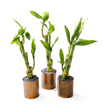 Amazon com : KaBloom Live Plant Collection: Set of 3 Mini Lucky
