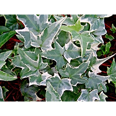 5 White Green Glacier Ivy CUTTINGS Variegated English Ivy Vines Real Live Plants - Decoration Plant Cutting Sapling Seedling for Your Garden : Garden & Outdoor