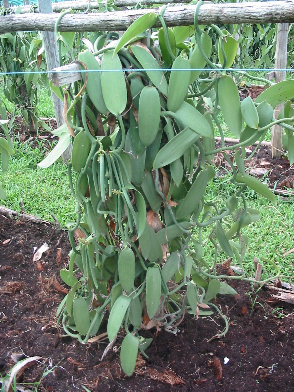 10 Tahitian Extract Grade B Vanilla Beans 3~4 inches, cuts splits whole by Vanilla Products USA (Image #4)