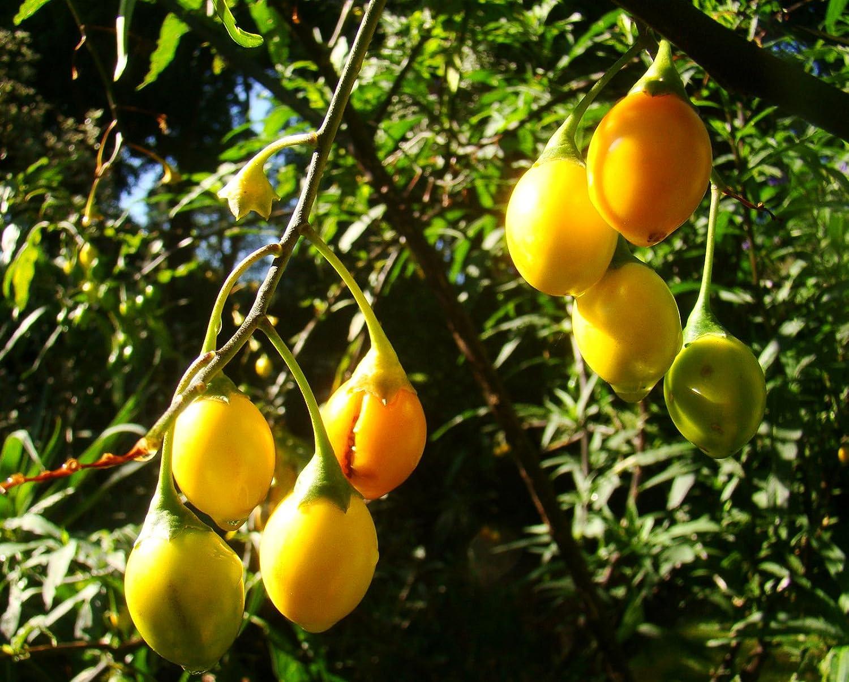 KANGAROO APPLE Solanum Laciniatum Conservatory Plant Edible Fruits