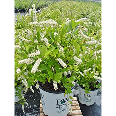 Proven Winners - Itea virginica Little Henry (Sweetspire) Shrub, , #2 - Size Container: Garden & Outdoor