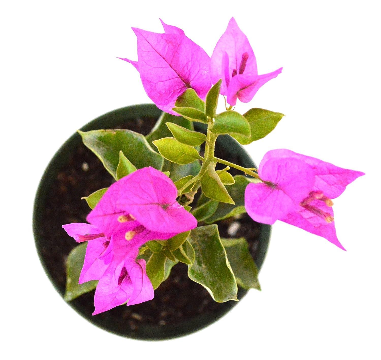 Amazon.com : 9GreenBox - Royal Purple Bougainvillea Plant -Indoors ...