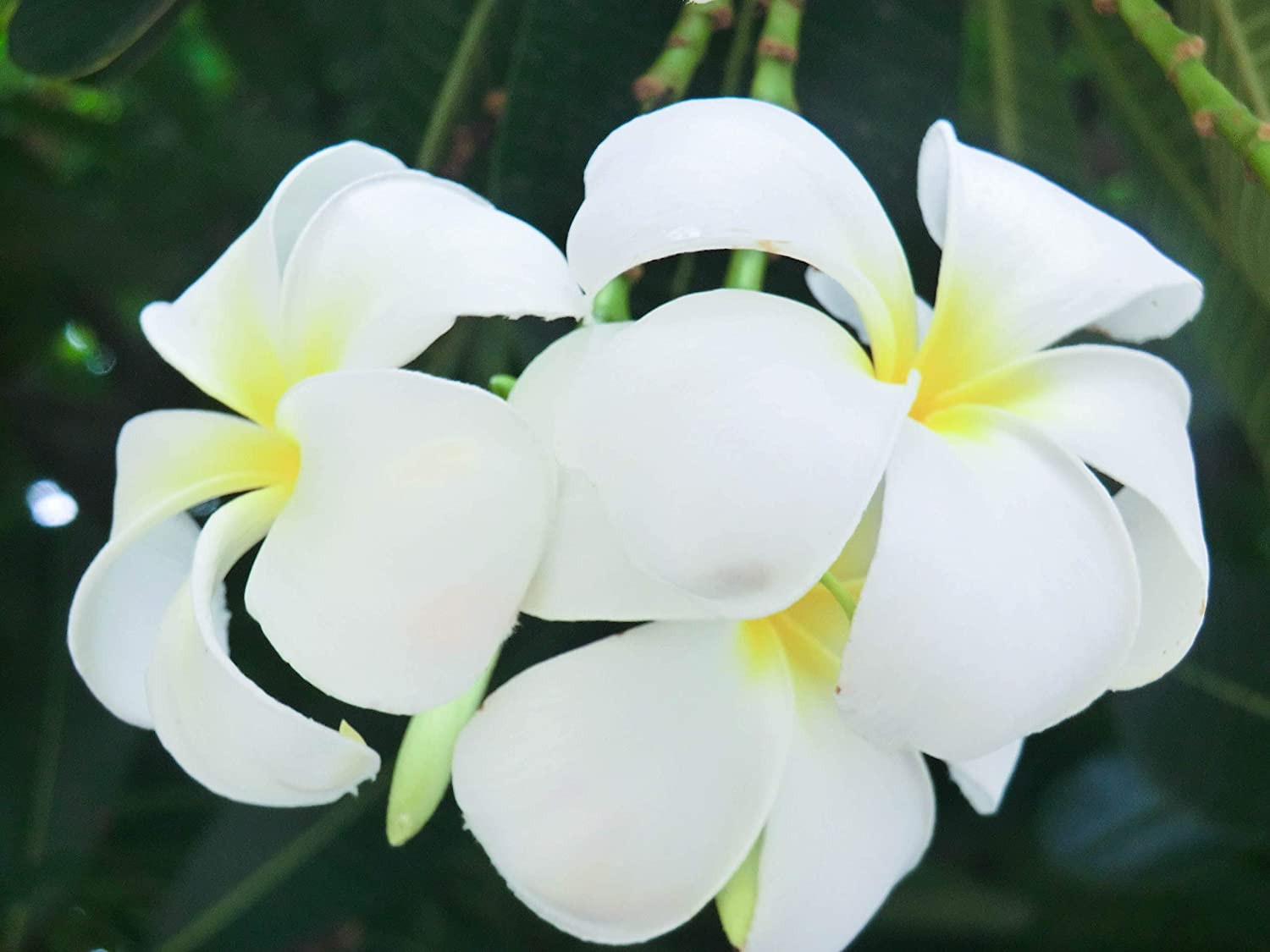 Amazon.com  Heirloom 5 Seeds Plumeria Yellow and White