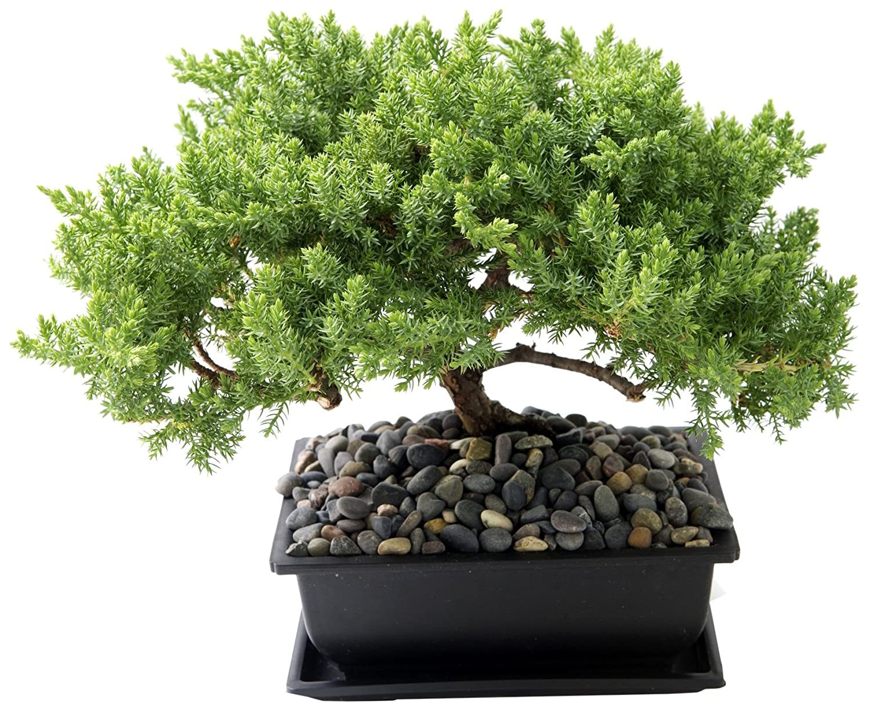 Bonsai Tree Pebbles Bonsai Tree