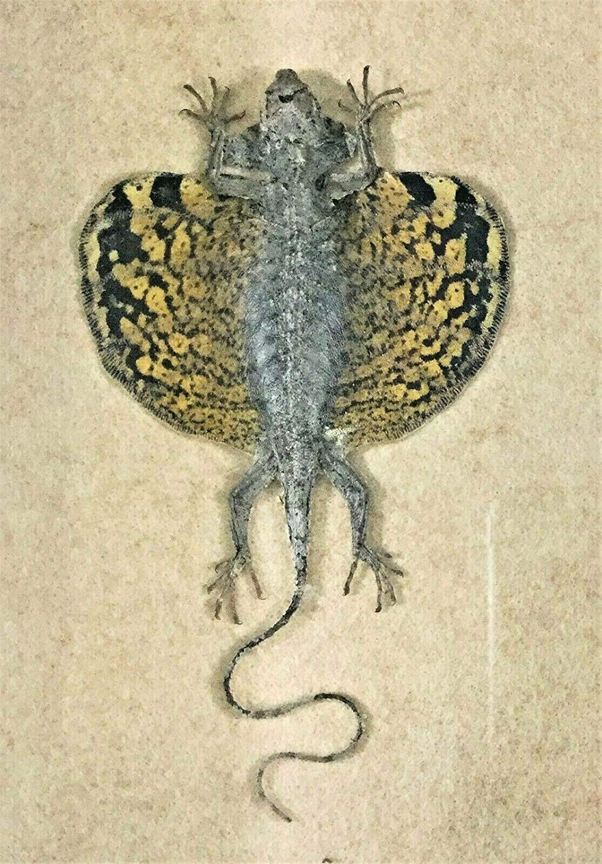 Draco fimbriatus henningi Taxidermy Flying Lizard in Box Frame