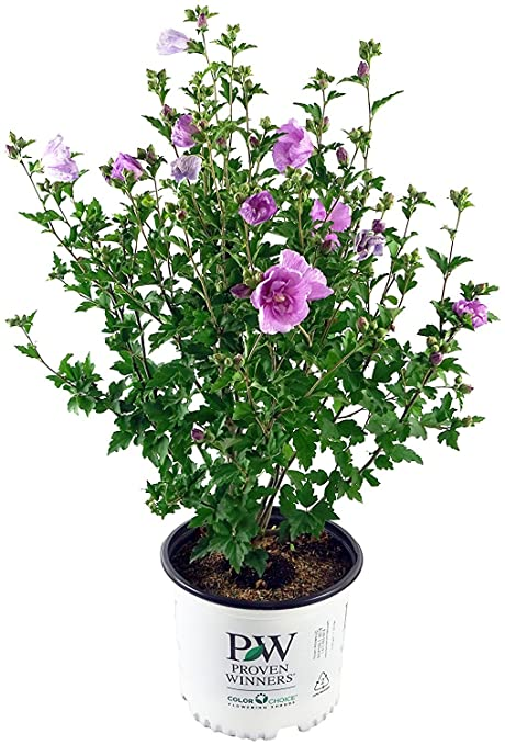 Amazoncom Proven Winners Hibiscus Syriacus Lavender Chiffon