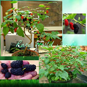 Dwarf mulberry tree dwarf everbearing morus nigra seeds ship dwarf mulberry tree dwarf everbearing morus nigra seeds ship from canada sciox Image collections