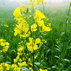 Trifecta Power Blend Mustard Seeds by Mighty Mustard - 1 Lb - Non-GMO, Open Pollinated Farm & Garden Cover Crop Seeds