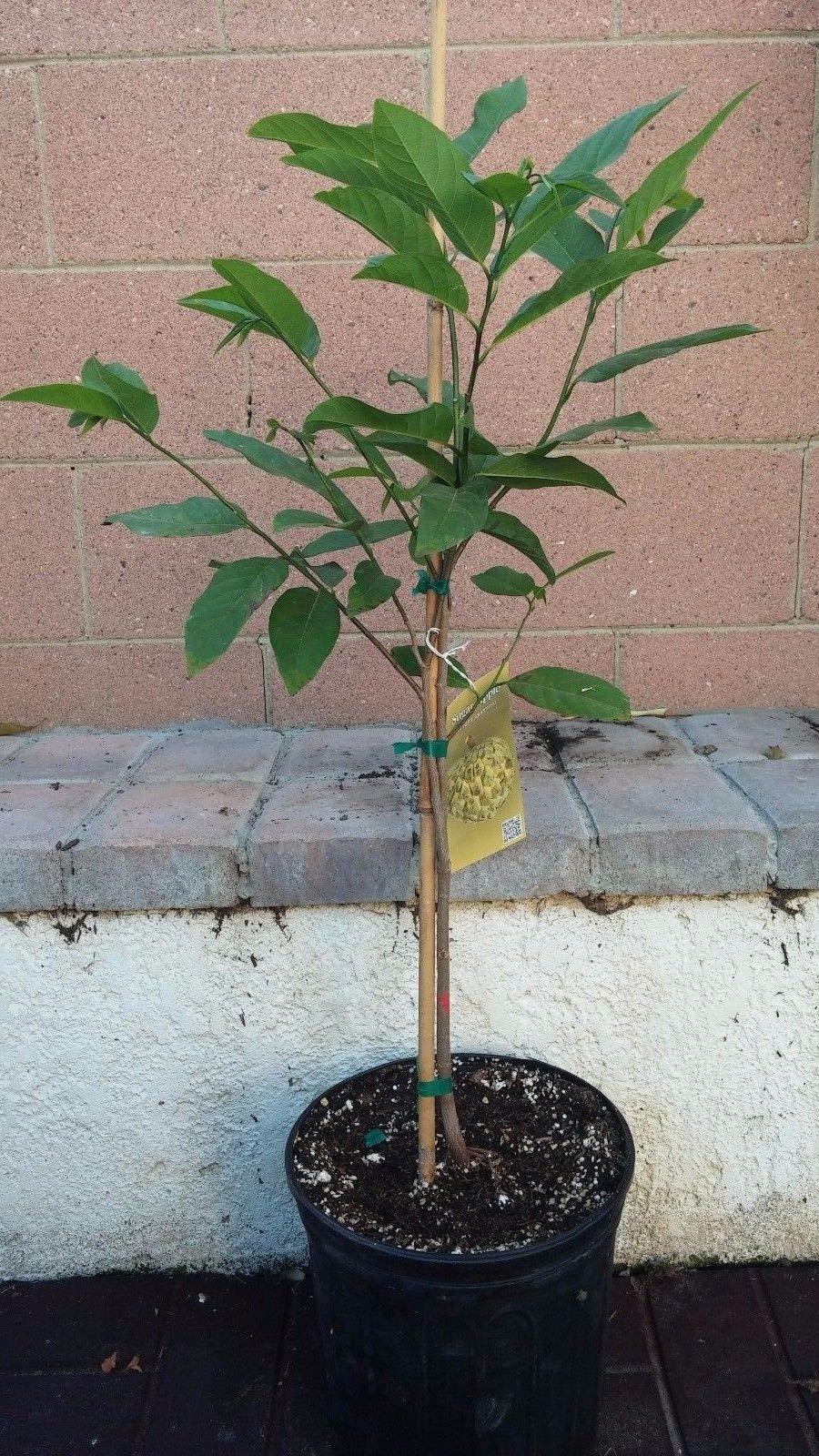 NA DAI Sugar Apple Annona Squamosa Tropical Fruit Tree by bluestargarden168 (Image #2)