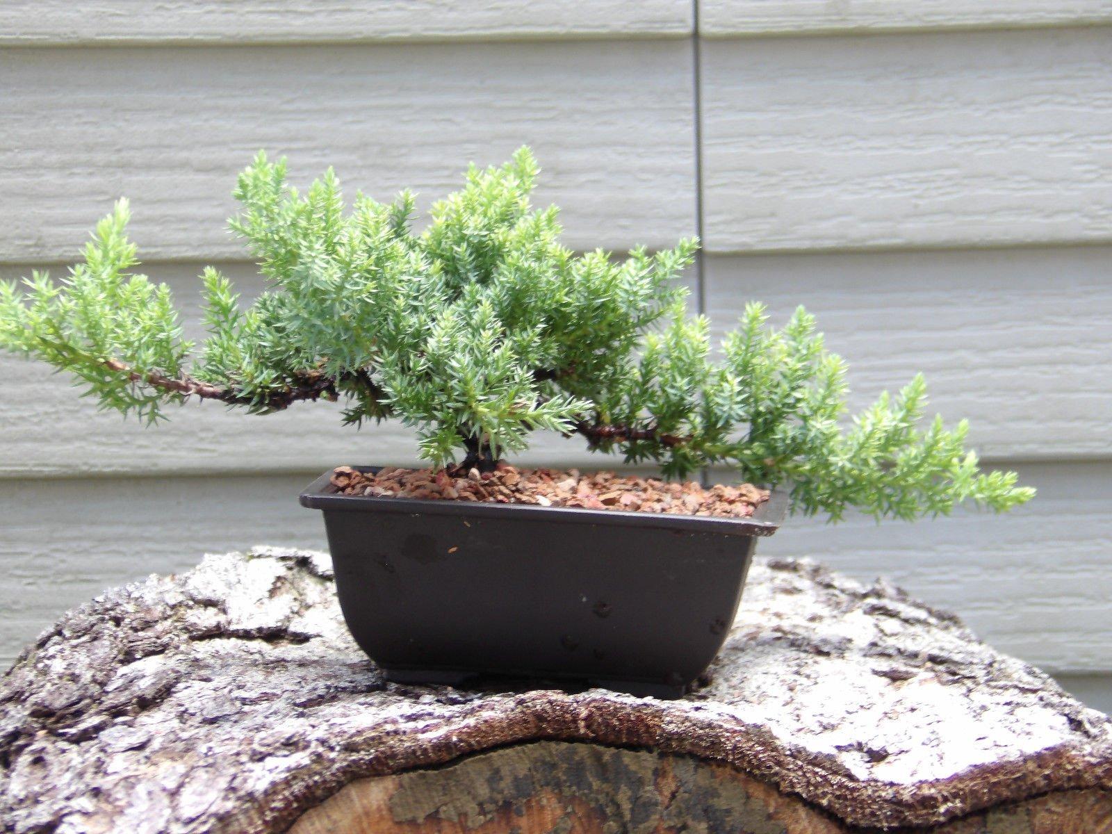 Hot Sale! Bonsai Japanese Dwarf Juniper Bonsai Tree