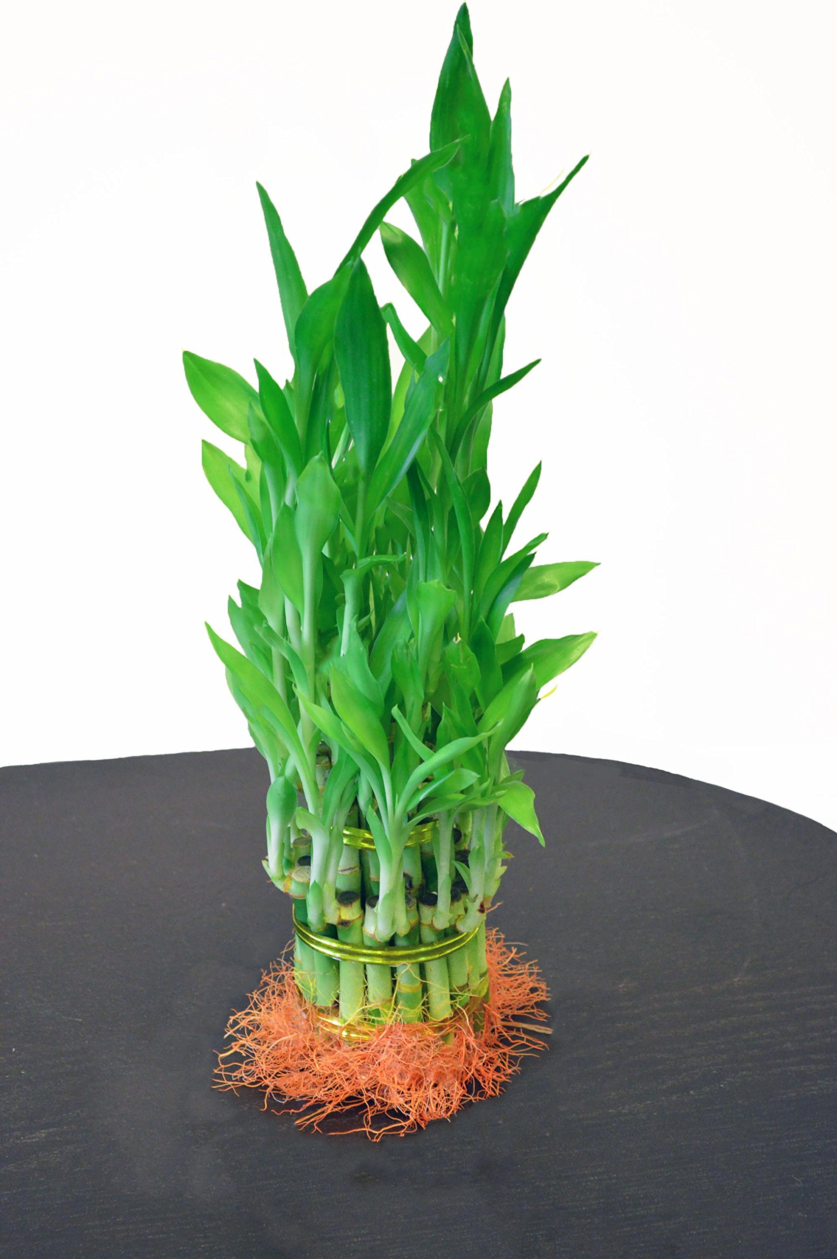 9Greenbox Top Quality Lucky Bamboo for Feng Shui, 5 Pound (Pack of 3) by 9GreenBox