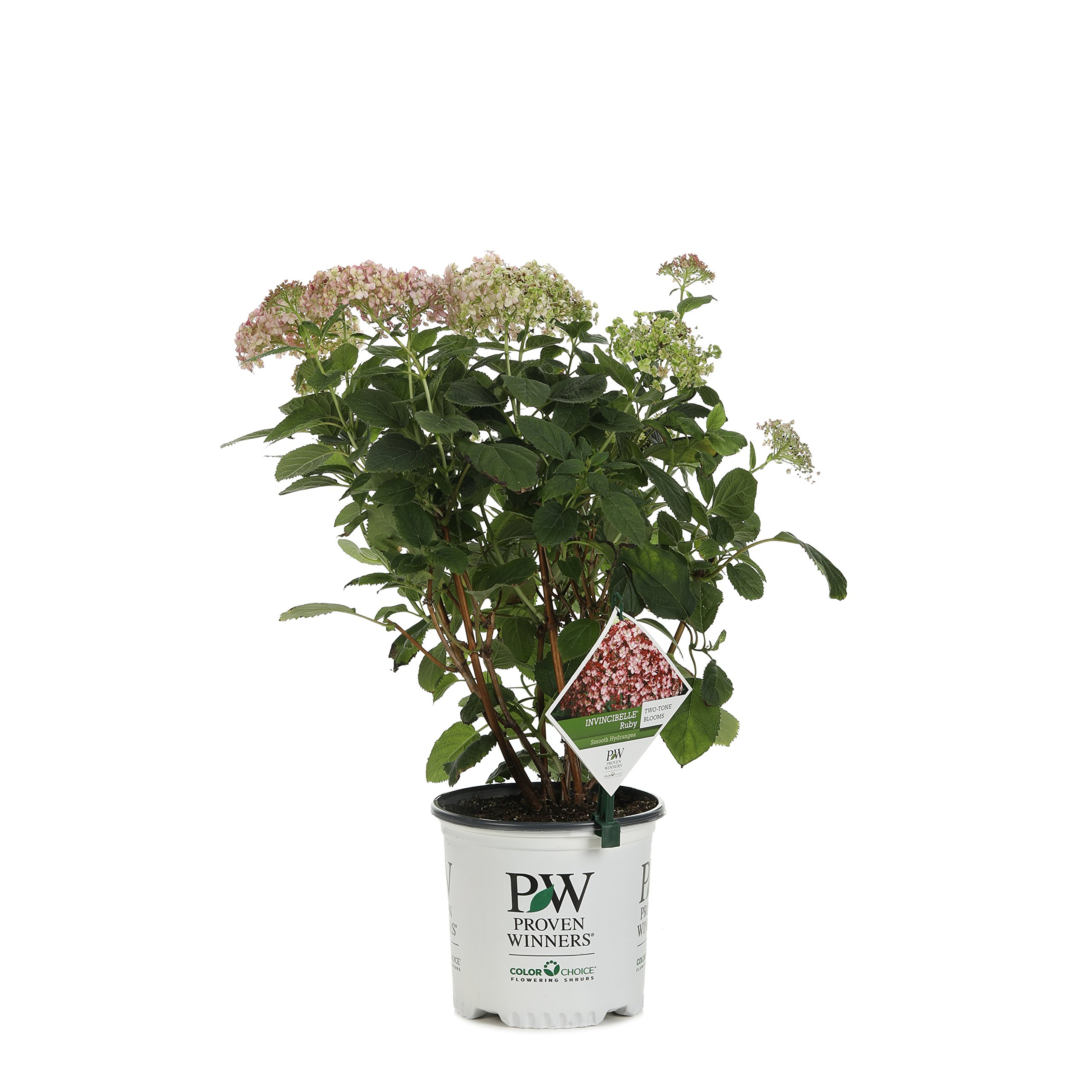 Invincibelle Ruby Smooth Hydrangea, Live Shrub, Red and Pink Flowers, 1 Gallon
