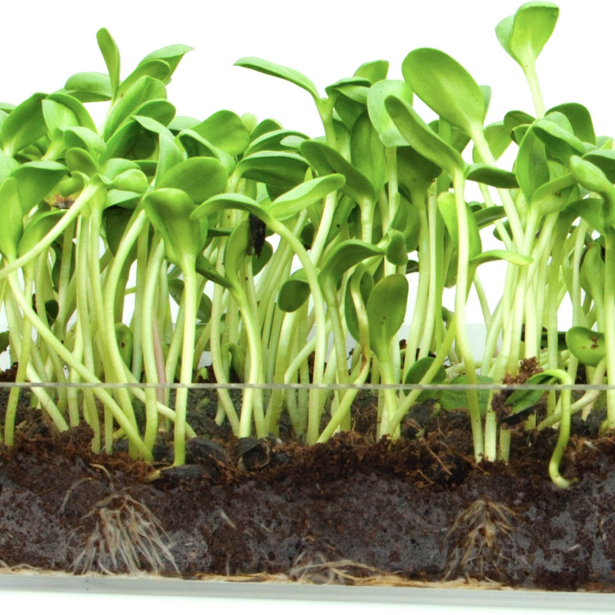 Microgreen Organic Sunflower 3 Pack Refill KIT - Pre-Measured Soil + Seed, USE with Window Garden Multi-Use 15'' x 6'' Planter Tray. (Tray NOT Included). Enough to Sprout 3 Crops of Superfood. by Window Garden