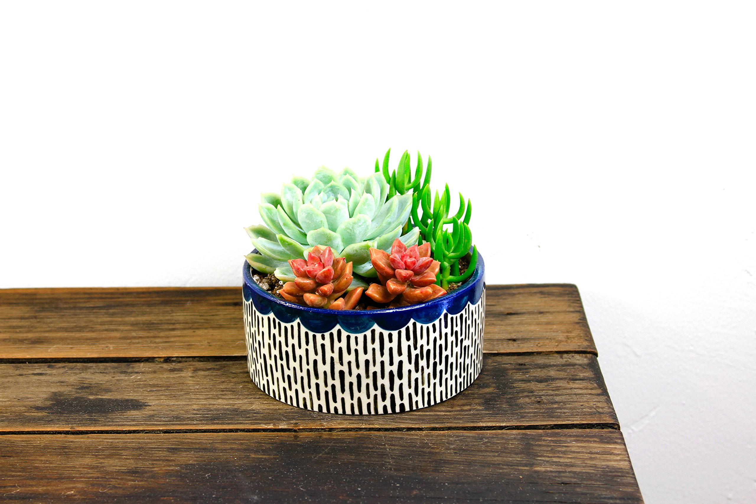 Shop Succulents | Assorted Collection of Live Plants, Hand Selected Variety Pack of Mini Succulents in in 2'' Blue Scalloped Handmade Ceramic Planter