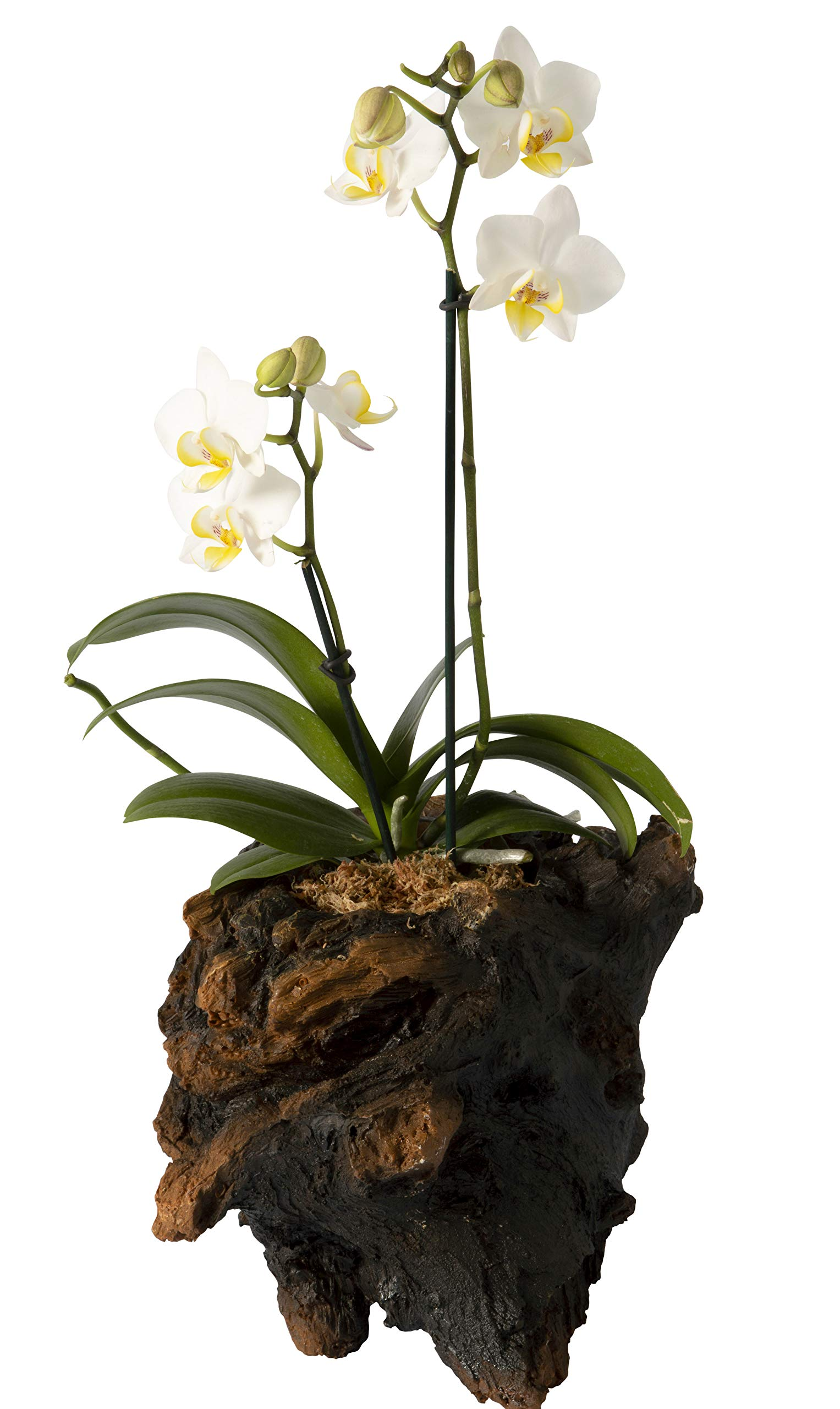 Color Orchids Live Blooming Double Stem Phalaenopsis Orchid Plant in Ceramic Pot, 15'' - 20'' Tall Single, White