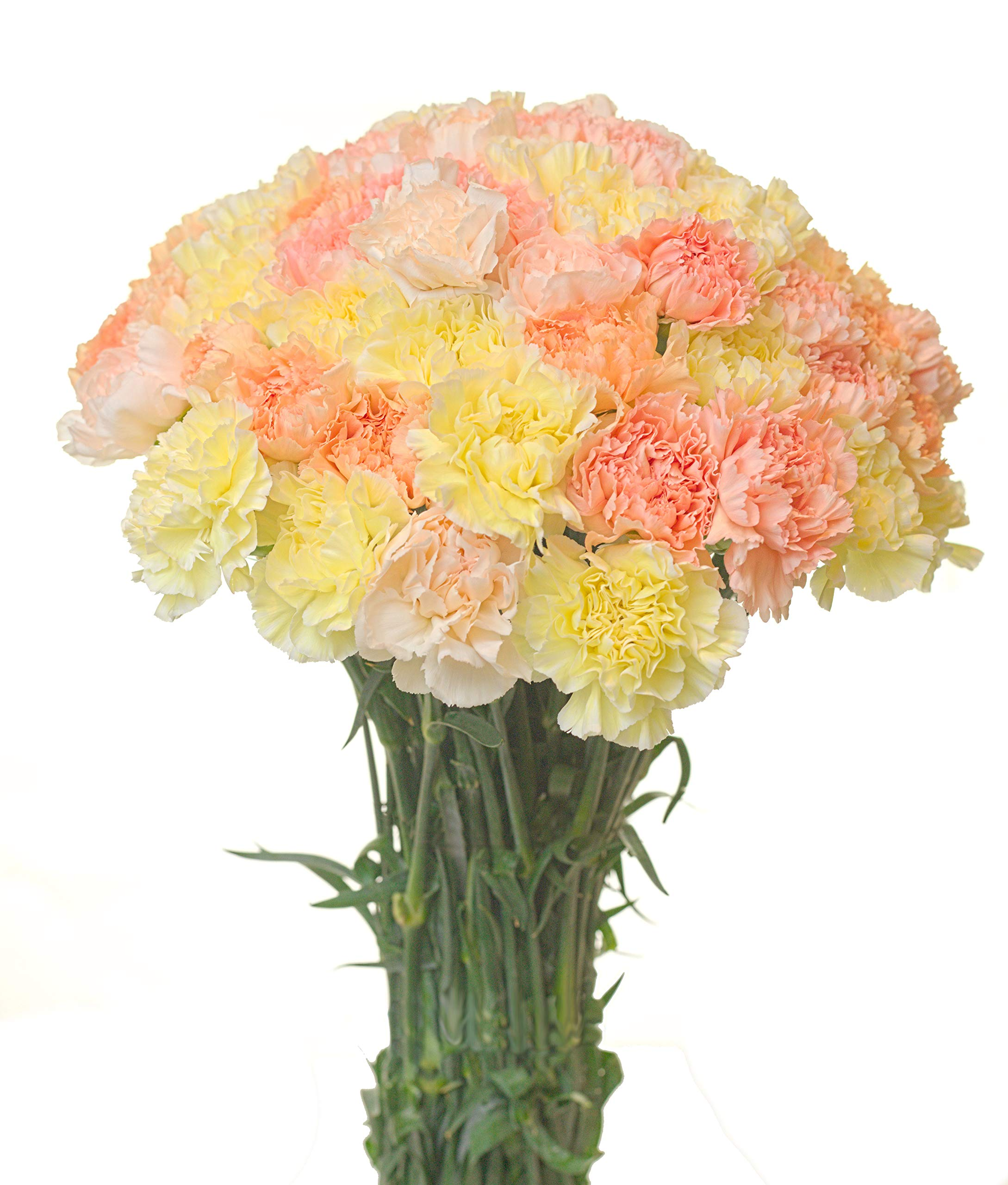 Carnations Special Holidays Pack (50, Easter) by Flower Prime