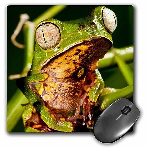 Amazon.com: Danita Delimont - Frogs - Razor Backed Monkey ...